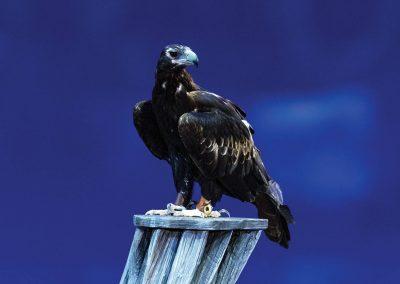 id38_1400x933_eagle